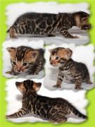 Продам бенгальських кошенят